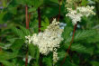 A Herbal Profile – Meadowsweet